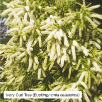 Ivory Curl Tree (Buckinghamia celsissima)