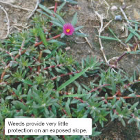 Weeds provide very little protection on an exposed slope.