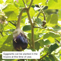 Eggplants can be planted in the tropics at this time of year.