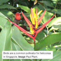 Birds are a common pollinator for heliconias in Singapore. Image Paul Plant.