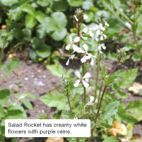 Salad Rocket has creamy white flowers with purple veins.