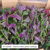 At market - stems make great cuttings.