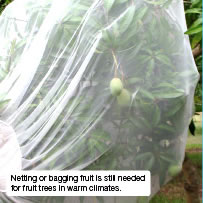 Netting or bagging fruit is still needed for fruit trees in warm climates.