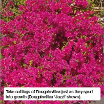 Take cuttings of Bougainvillea just as they spurt into growth (Bougainvillea 'Jazzi' shown).