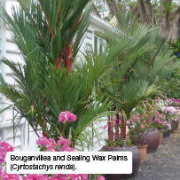 Bouganvillea and Sealing Wax Palms (Cyrtostachys renda).