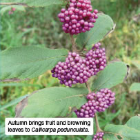Autumn brings fruit and browning leaves to Callicarpa pedunculata.