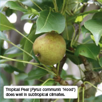 Tropical Pear (Pyrus communis 'Hood') does well in subtropical climates.