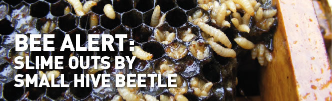 BEE ALERT: Slime Outs by Small Hive Beetle
