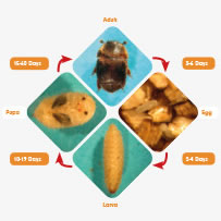 Varroa destructor cycle.