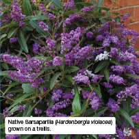 Native Sarsaparilla (Hardenbergia violacea) grown on a trellis.