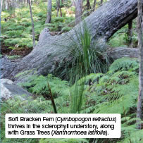 Soft Bracken Fern (Cymbopogon refractus) thrives in the sclerophyll understory, along with Grass Trees (Xanthorrhoea latifolia).