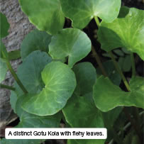 A distinct Gotu Kola with flehy leaves.