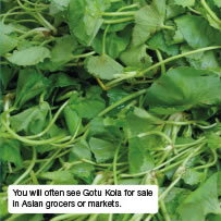 You will often see Gotu Kola for sale in Asian grocers or markets.