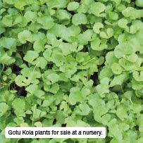 Gotu Kola plants for sale at a nursery.