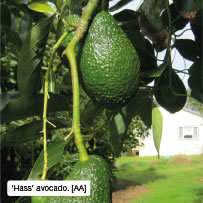 'Hass' avocado. [AA]