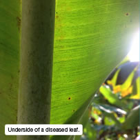 Underside of a diseased leaf.