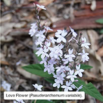 Love Flower (Pseuderanthemum variabile).