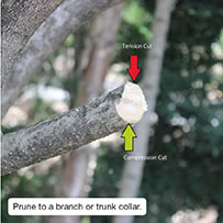 Prune to a branch or trunk collar.