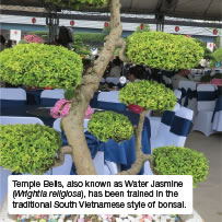 Temple Bells, also known as Water Jasmine (Wrightia religiosa), has been trained in the traditional South Vietnamese style of bonsai.