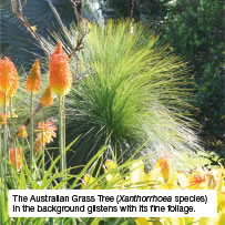 The Australian Grass Tree (Xanthorrhoea species) in the background glistens with its fine foliage.