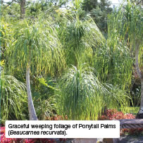 Graceful weeping foliage of Ponytail Palms (Beaucarnea recurvata).