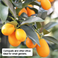 Cumquats and other citrus: ideal for small gardens.
